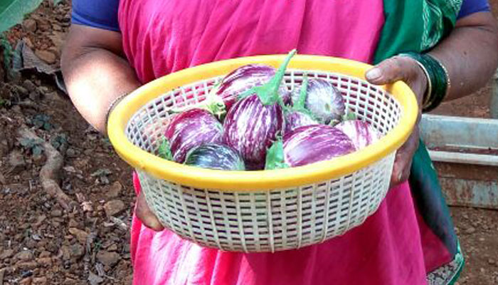 Brinjals - fresh from our own kitchen-garden